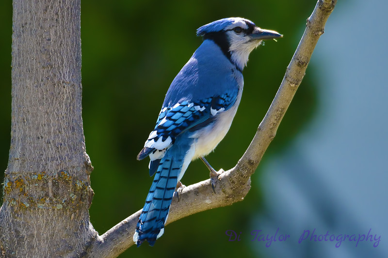 Blue Jay 20 May 2017