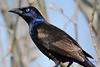 Common Grackle colours