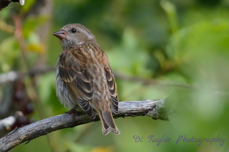 Purple Finch Female 5