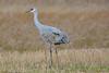 Sandhill Crane 2  Oct 28 2017