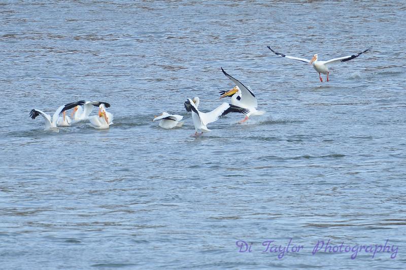 Pelicans in spring, Saskatoon, Saskatchewan