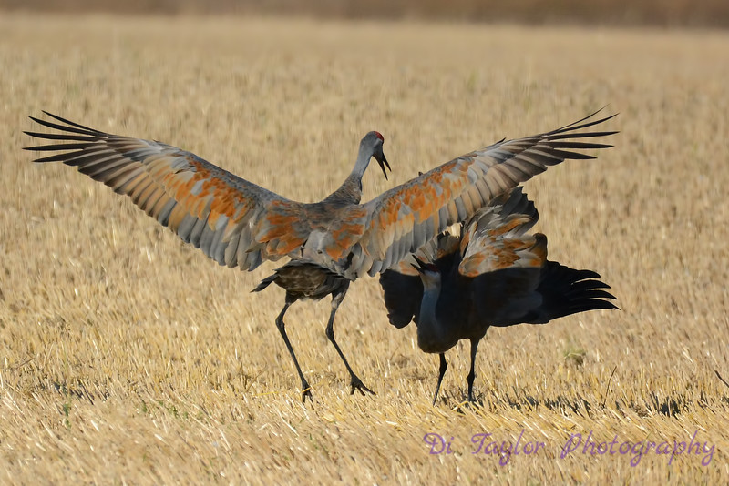 Sandhill Cranes establishing dominance 6