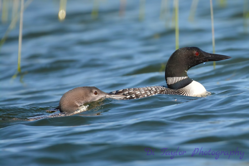 Common Loon adult and juvenile Aug 26 2017
