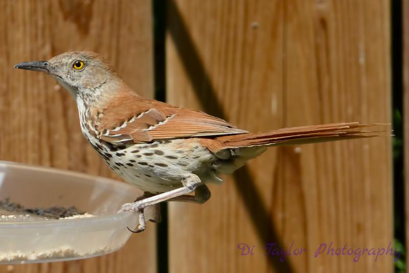 Brown Thrasher at feeder
