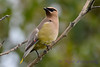 Cedar Waxwing in tree 6