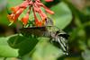 Ruby Throated Hummingbird in Honeysuckle Trumpet Vine 60