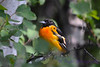 Baltimore Oriole Young Male 2
