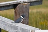 Belted Kingfisher female 4  Aug 19 2018