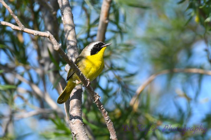 Common Yellowthroat male 2 1-Jul-2019