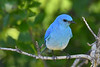 Mountain Bluebird male 3  June 16 2018