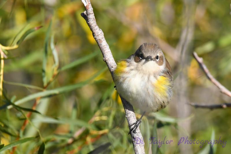 Yellow rumped Warbler Sep 16 2020
