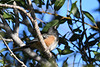 Spotted Towhee 3 Sep 16 2020