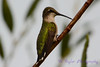 Female Ruby Throated Hummingbird trying to be a woodpecker