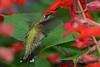 Young Male Hummingbird in Red Sage flowers 5