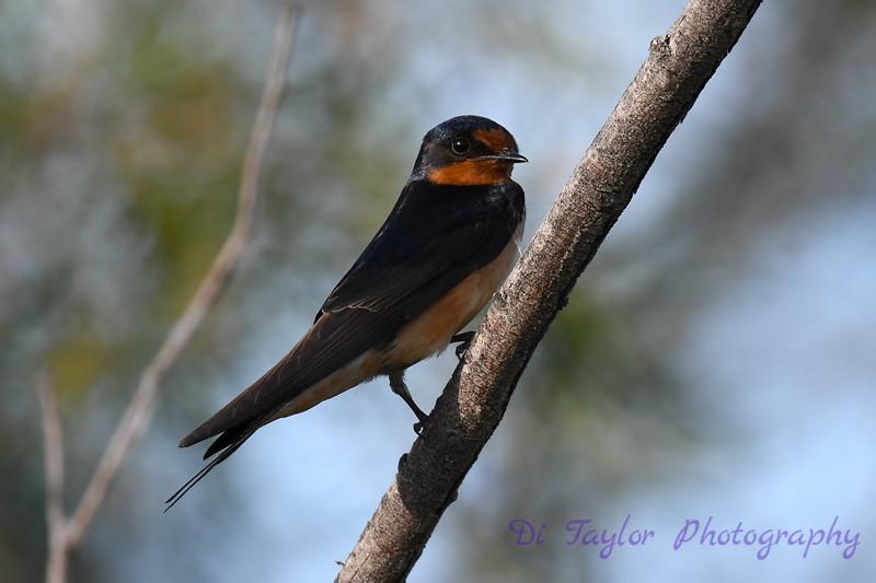 Barn Swallow 12 July 2020