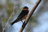 Barn Swallow 12 July 2020