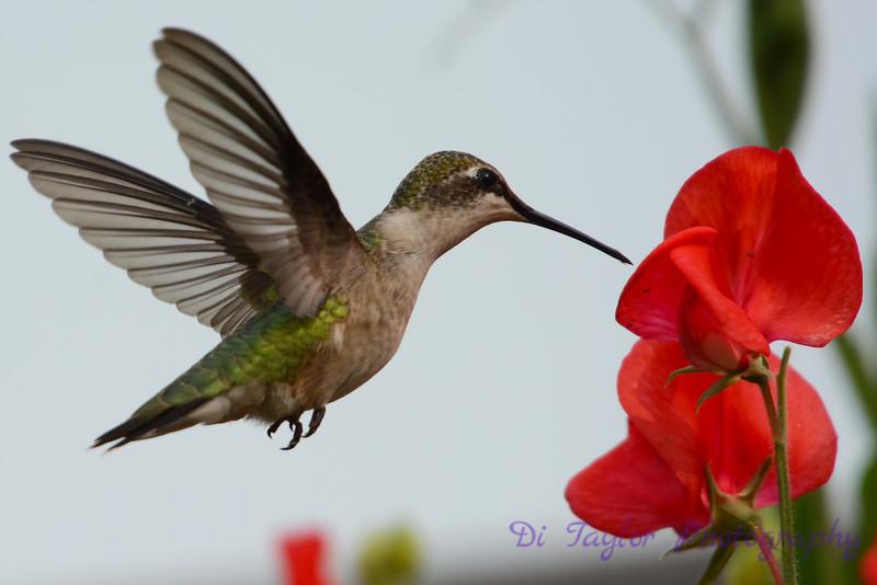 Female Ruby Throated Hummingbird with sweet peas 8