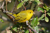 Yellow Warbler 2  Sep 10 2017
