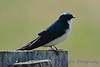 Tree Swallow 3 May 7 2017