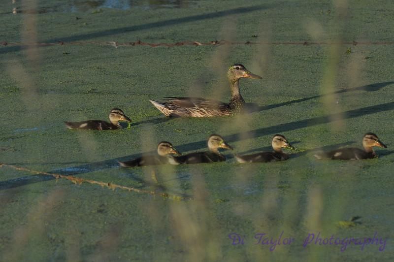 Female Mallard Duck with Ducklings