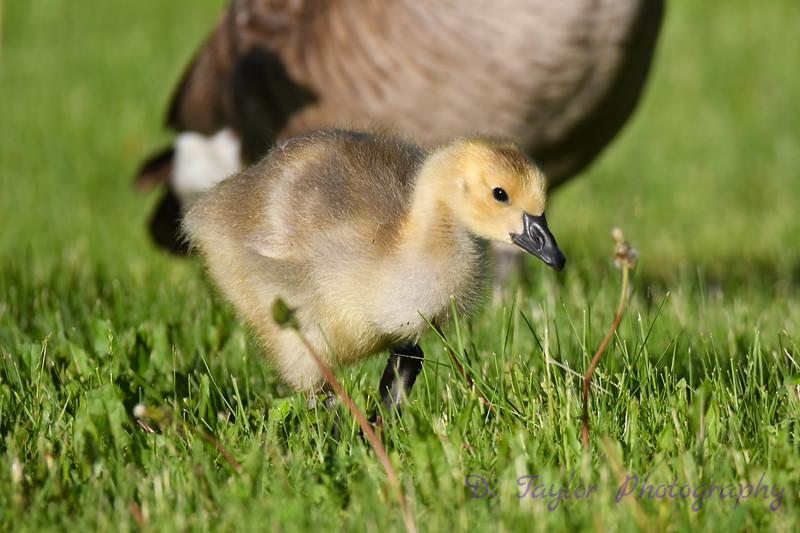 Canada Geese gosling June 10 2020