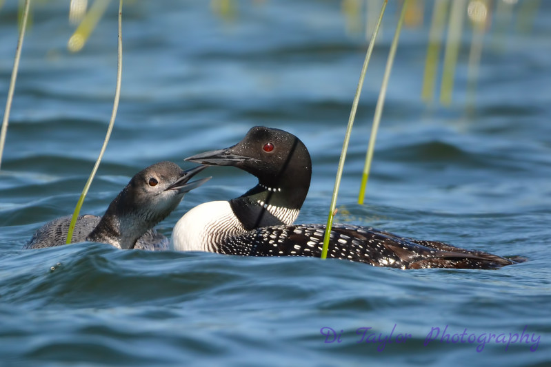 Common Loon adult and juvenile 5  Aug 26 2017