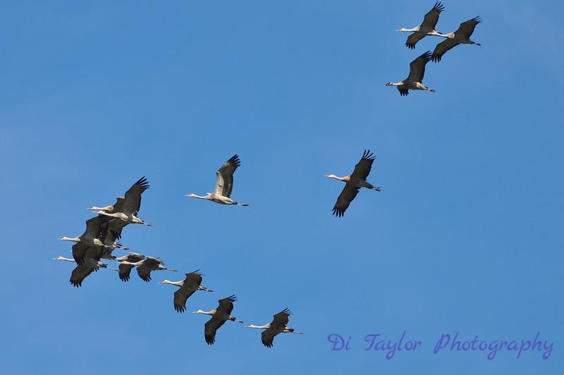 Sandhill cranes in fall, Saskatchewan