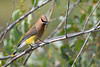 Cedar Waxwing 2 July 20 2018