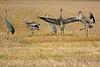 Sandhill Cranes posturing 4