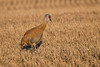 Sandhill Crane early morning Sep 28 2018