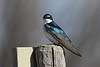 Tree Swallow 2  May 13 2018