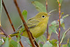 Yellow Warbler female Aug 20 2017