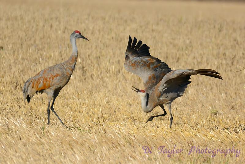 Sandhill Cranes establishing dominance 5