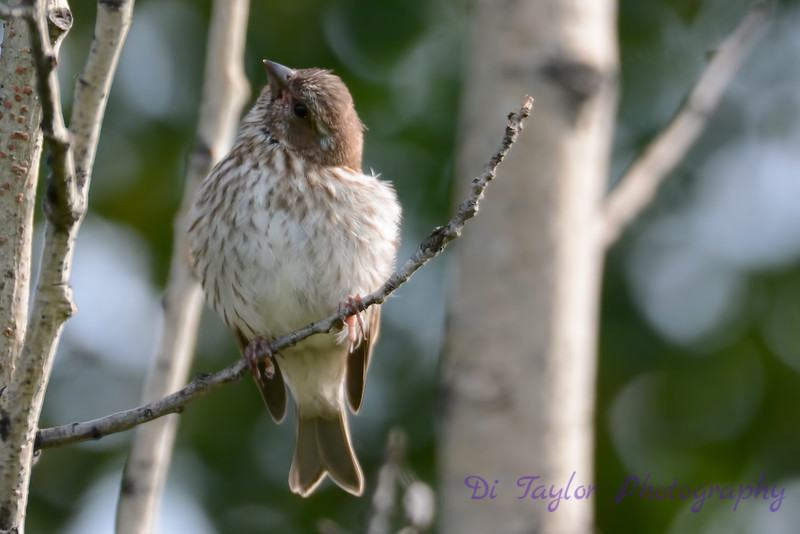 Purple Finch Baby 4