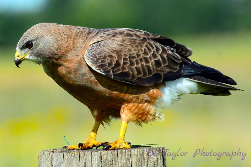 Swainson's Hawk10