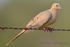 Mourning Dove 2  Aug 17 2017