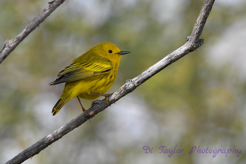 Yellow Warbler male 2 May 31 2020