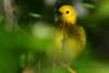 Warbler in tree