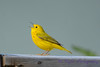 Yellow warbler singing on fence