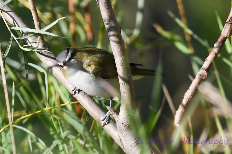 Red Eyed Vireo 5  Sep 7 2018