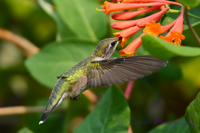 Female Ruby Throated Hummingbird with honeysuckle trumpet flower