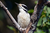 Hairy Woodpecker 2