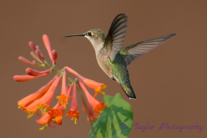 Female Ruby throated hummingbird 24