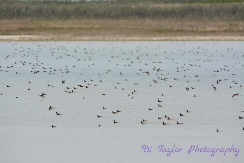 Phalarope flock