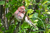 Purple Finch Male all wet 3