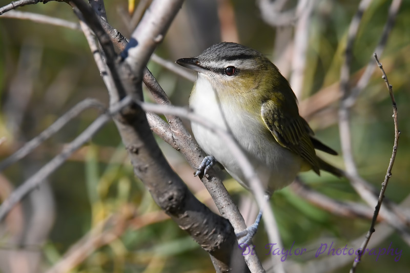 Red Eyed Vireo 8 Sep 7 2018