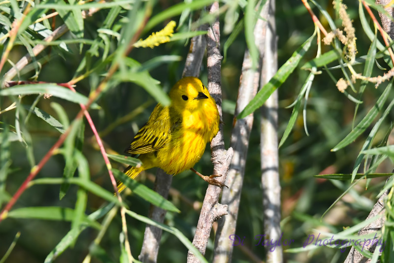 Yellow Warbler male in tree 12 Jul 2019