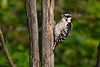 Downy Woodpecker 24 Jul 2017