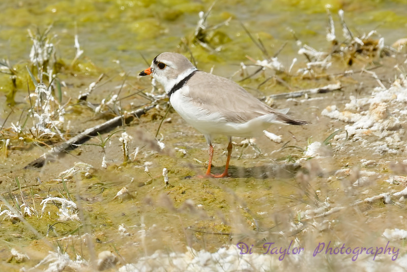 Piping Plover 8