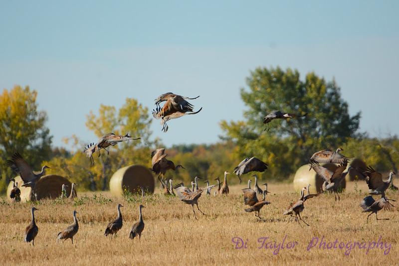 Sandhill Cranes in farmer's field